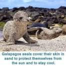 galapagos seal