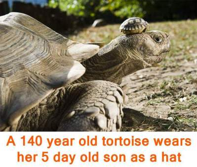 big & old tortoise