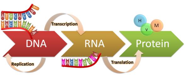 Αποτέλεσμα εικόνας για Η αντιγραφή του DNA ε