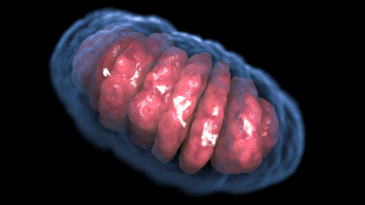 sn-mitochondrion.png