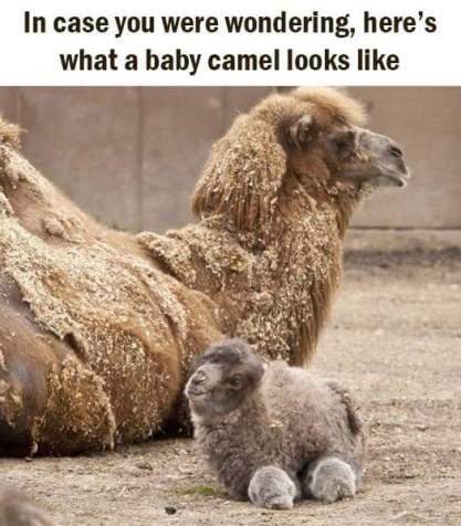 camel